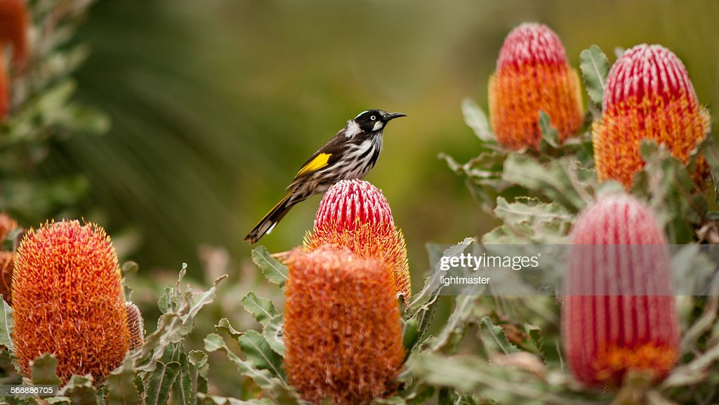 Honey eater on Flowering Banksia : Stock Photo
