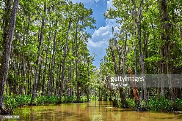 honey island swamp tree forest,louisiana - swamp stock pictures, royalty-free photos & images