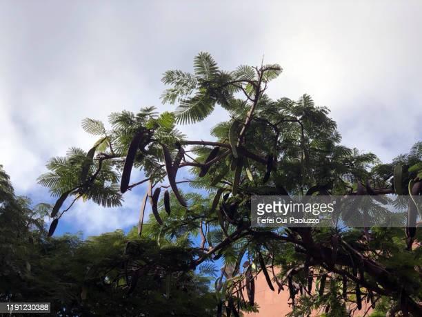 honey locust tree with seedpod at san sebastián de la gomera, canary islands - exotic_species stock pictures, royalty-free photos & images