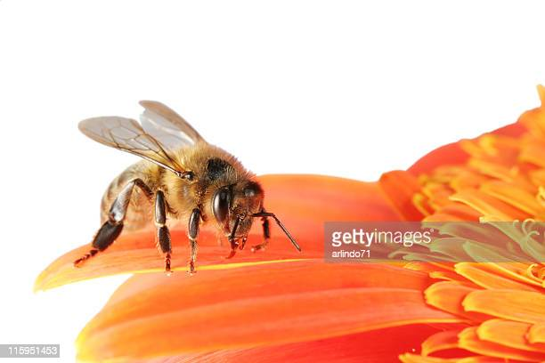 honeybee and gerbera daisy 01 - honey bee stock pictures, royalty-free photos & images