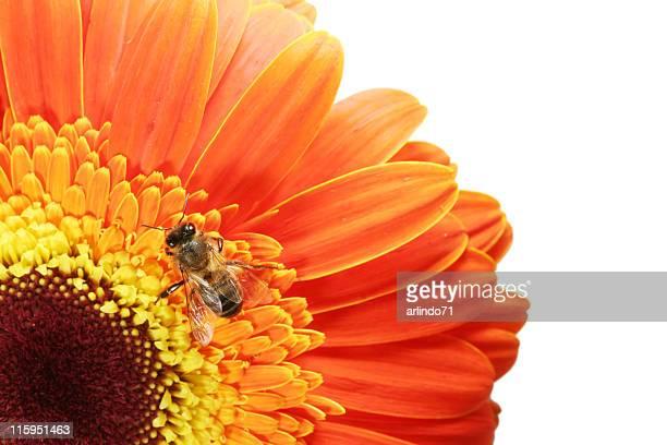 Honeybee and gerbera daisy 08