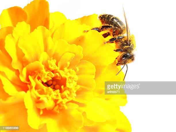 Honeybee et jaune Inde
