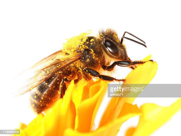 honeybee and yellow marigold - honey bee stock pictures, royalty-free photos & images