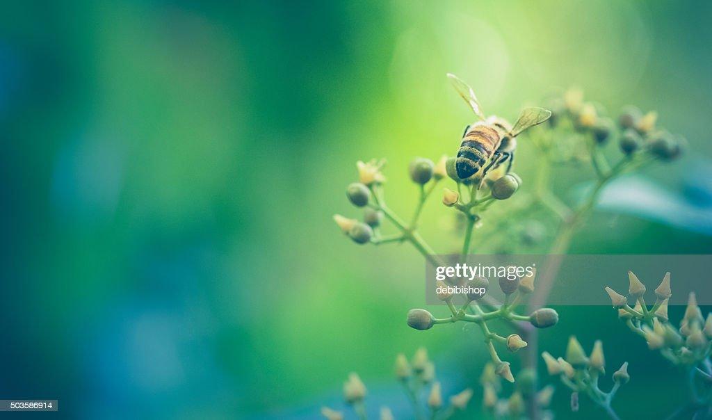 Honeybee At Work Gathering Nectar - Rear View : Stock Photo
