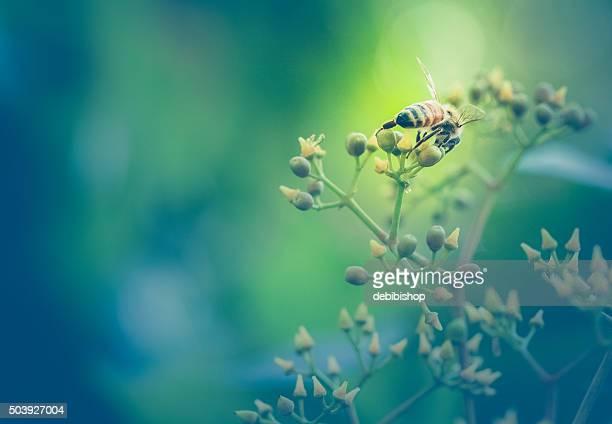 Honeybee At Work Gathering Nectar - Rear View