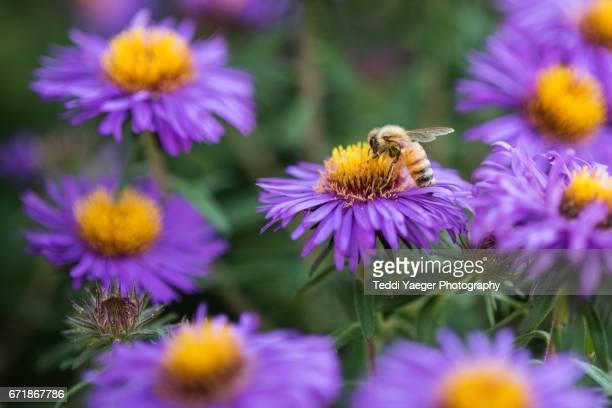 A honeybee at work on purple aster flowers.