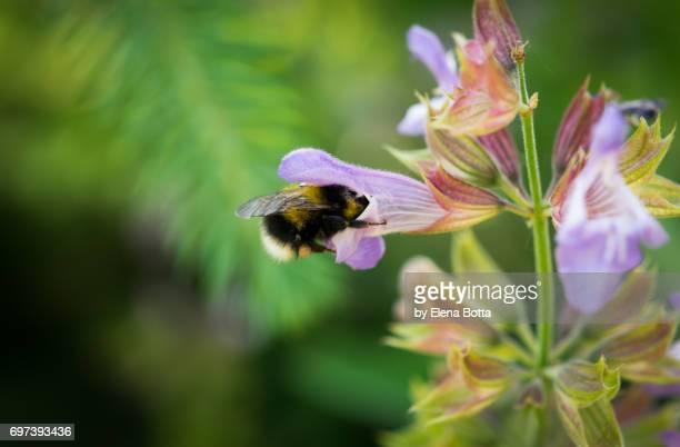 honeybee at work on sage flowers - elena blume stock-fotos und bilder