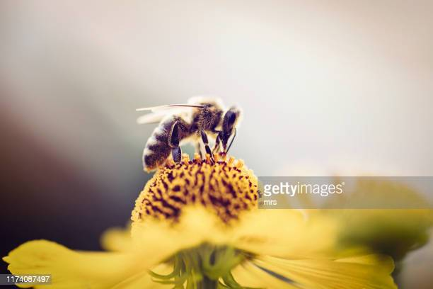 honeybee collecting pollen from a flower - biene stock-fotos und bilder