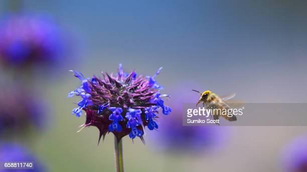 Honeybee collecting pollen from Chia flower