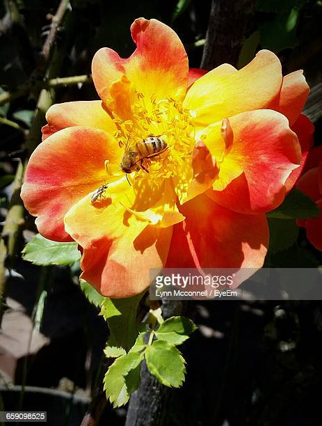 honeybee collecting pollen from flower - mcconnell stock pictures, royalty-free photos & images