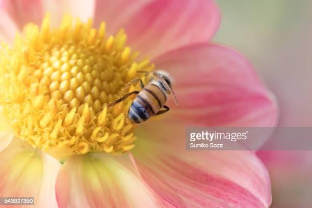 Honeybee Collecting Pollen from Pink Dahlia Flower