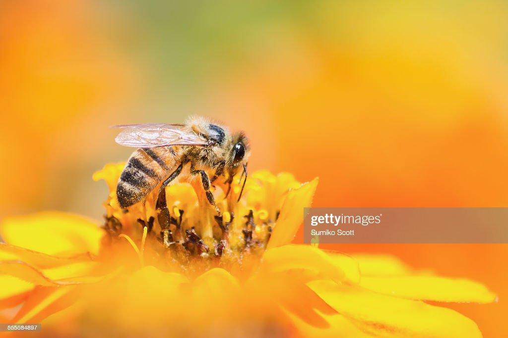 Honeybee collecting pollen from yellow flower : Stock Photo