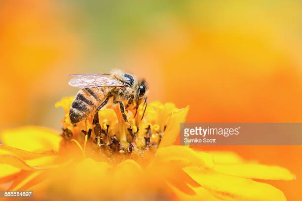 honeybee collecting pollen from yellow flower - impollinazione foto e immagini stock