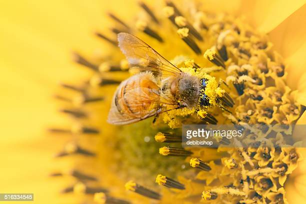 honeybee covered in pollen on a yellow sunflower - honey bee stock pictures, royalty-free photos & images