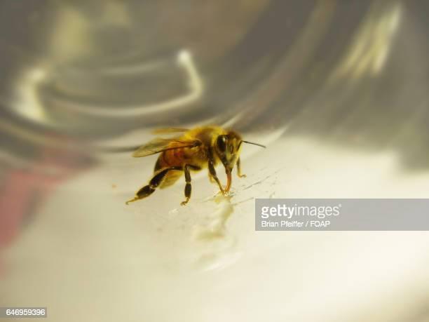 Honeybee drinking honey