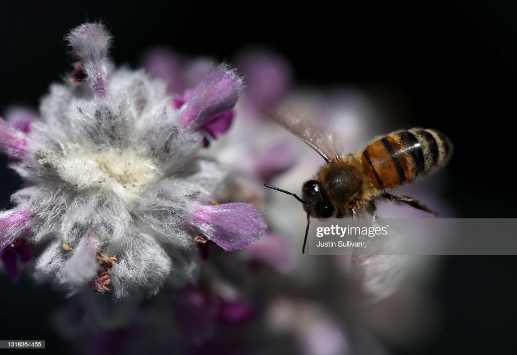 California Budget Includes Funding For Bees : News Photo