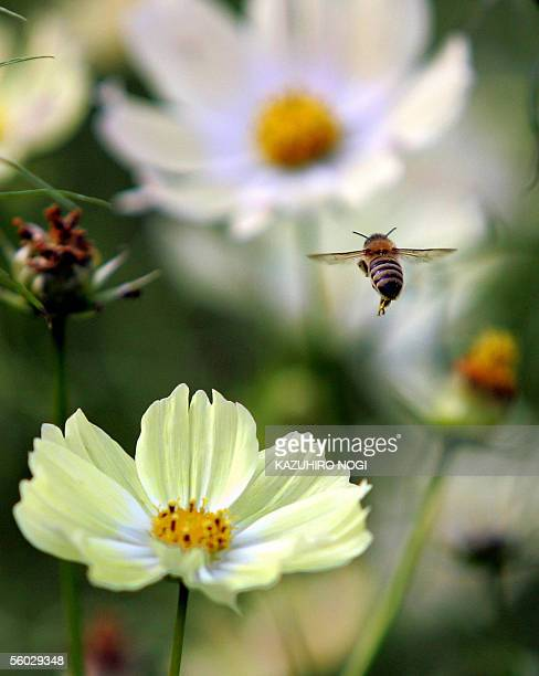 A honeybee flies over a field of cosmos in the Tokyo's Showa Kinen Park 29 October 2005 Some 180000 cosmos spread at the field as the last stage of...