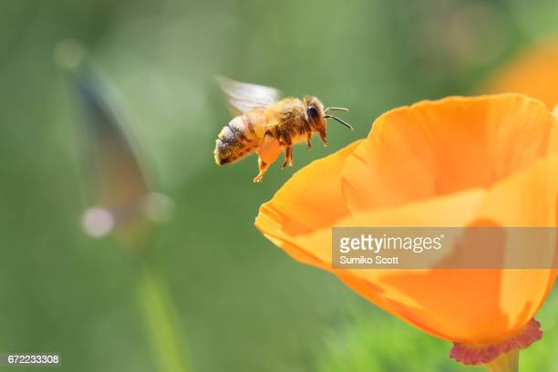 honeybee flying to california golden poppy - insecte photos et images de collection