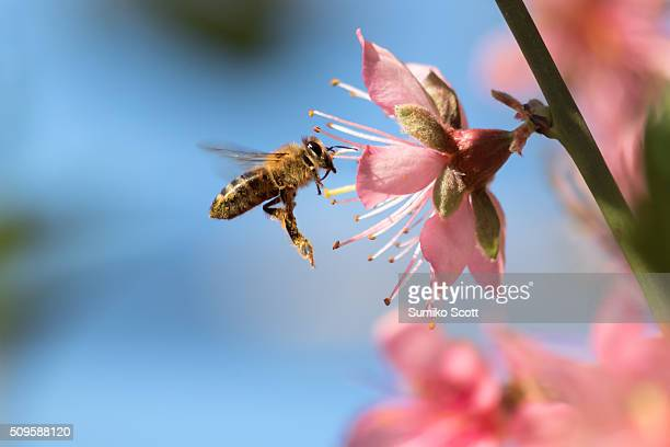 honeybee flying to desert gold peach flower - ecosystem stock pictures, royalty-free photos & images