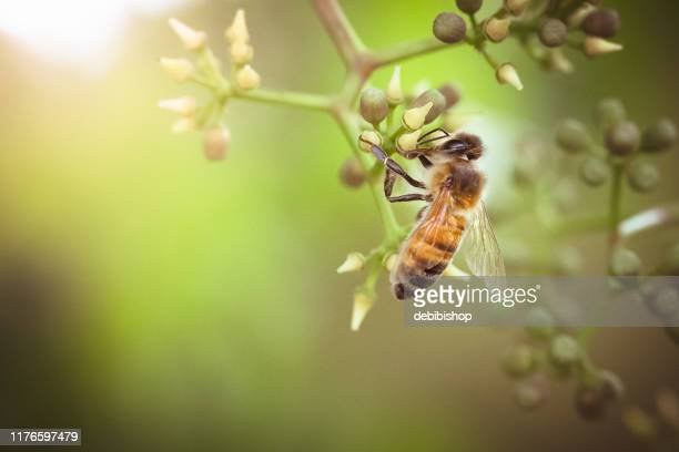 honeybee gathering nectar from summer blossoms. - ape foto e immagini stock