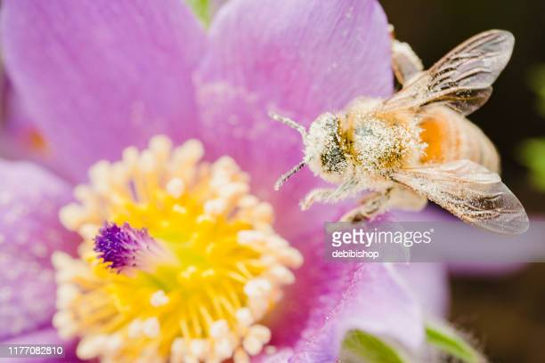 honeybee gathering pollen from flower - pollination stock pictures, royalty-free photos & images
