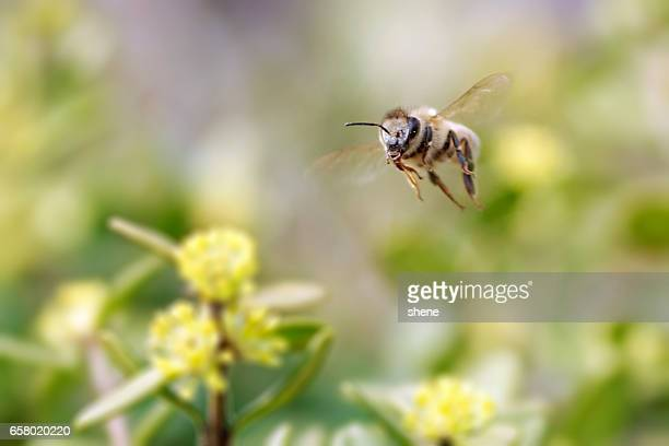 honeybee in flight - bees stock pictures, royalty-free photos & images