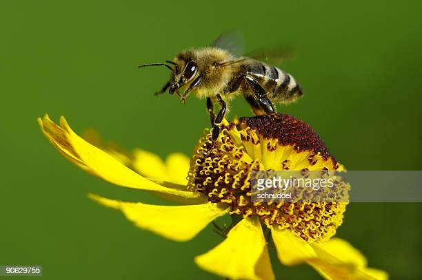 Honeybee au décollage