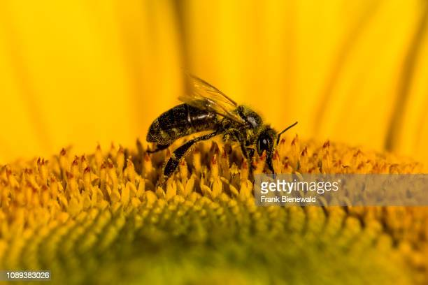 A honeybee is collecting pollens on a yellow sunflower