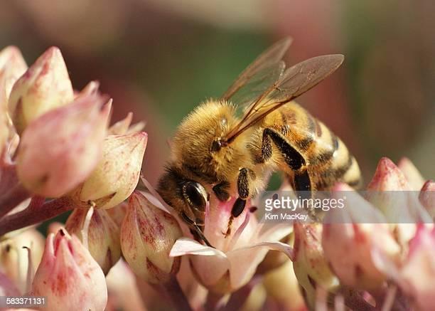 Honeybee macro in flowers