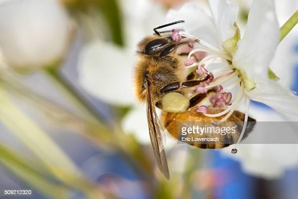 Honeybee on Almond Flower
