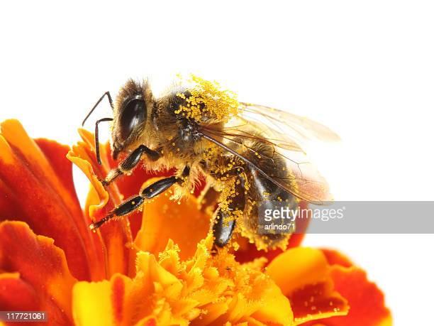 Honeybee colorés Inde