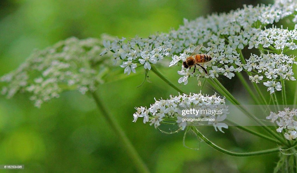 Honeybee on Cow Parsnip : Foto de stock