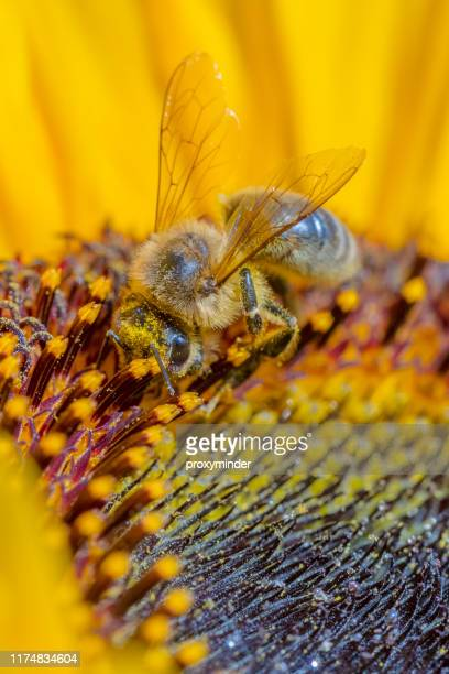 honeybee on flower - pollination stock pictures, royalty-free photos & images