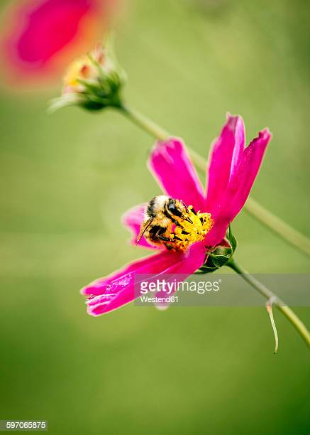 Honeybee on pink Mexican Aster