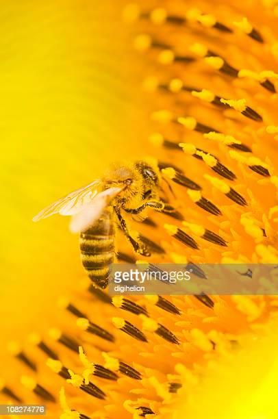 Honeybee をひまわりのディテール