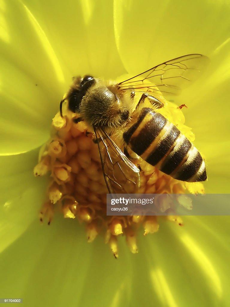 Honeybee na Flor Estame : Foto de stock