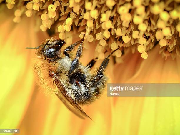 honeybee - honey bee stock pictures, royalty-free photos & images