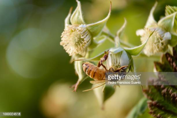 a honeybee pollinating a raspberry plant. - suarez stock pictures, royalty-free photos & images