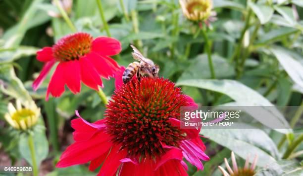 Honeybee pollinating red flower