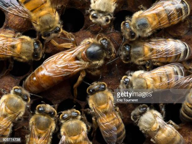 honeybee queen laying on a comb with honeybees - queen bee stock pictures, royalty-free photos & images