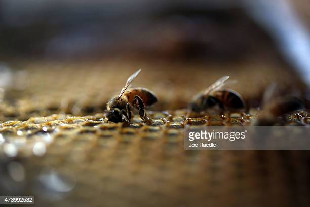 Honeybees are seen at the J P Apiary and Gentzel's Bees Honey and Pollination Company on May 19 2015 in Homestead Florida US President Barack Obama's...