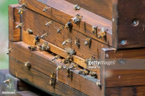 Honeybees entering beekeeper's wooden beehive