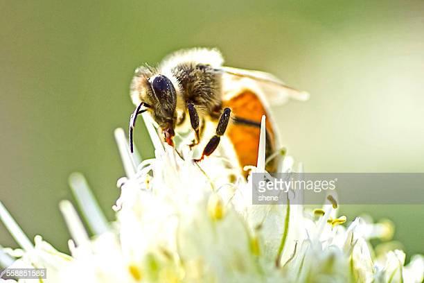 Honeybee's feeding over the leek flora