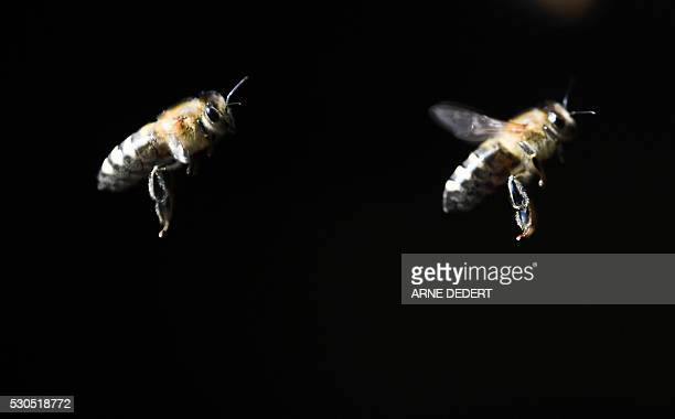Honeybees fly around a beehiveon in Seligenstadt central Germany on May 11 2016 / AFP / dpa / Arne Dedert / Germany OUT