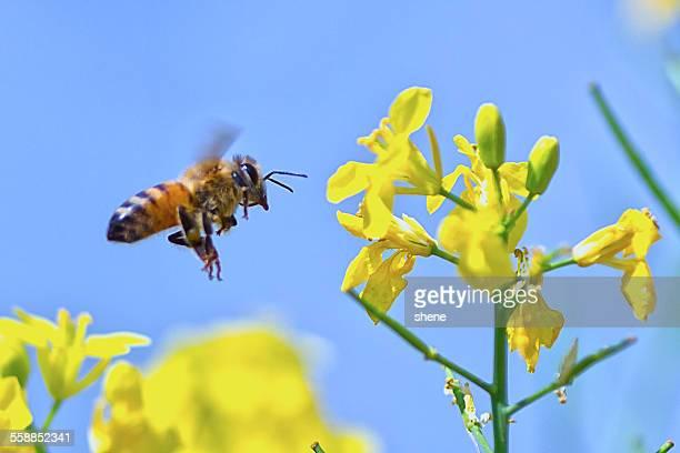 Honeybee's Flying around Rapeseed Flora