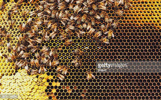 honeybees - honey bee stock pictures, royalty-free photos & images