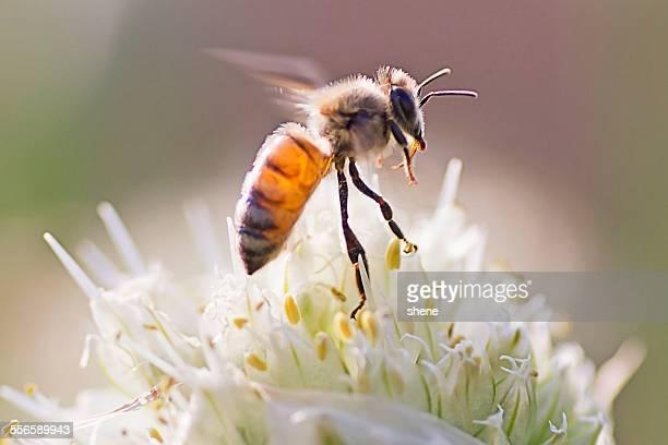 Honeybee's Take Off Mement