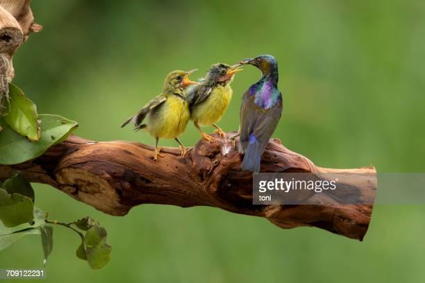 Honeybird feeding chicks, Indonesia