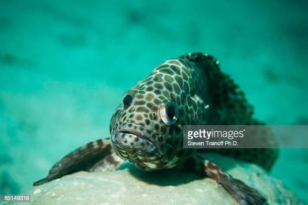 honeycomb grouper (epinephelus merra) - grouper stock pictures, royalty-free photos & images