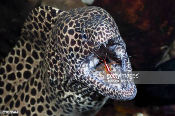 Honeycomb Moray Eel (Gymnothorax favagineus) being cleaned by a White-banded Cleaner Shrimp (Lysmata amboinensis), Alam Batu, Bali, Indonesia